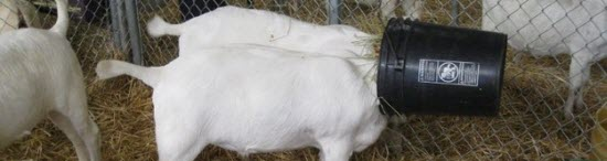 Stupid Goats