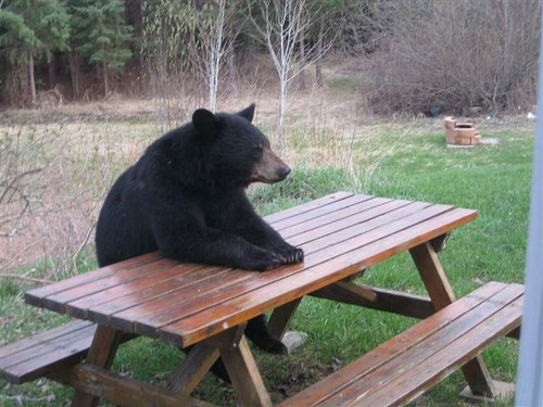 a0zim-black-bear-picnic-table